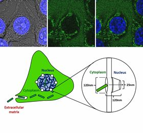 NanoparticleShapeMattersToCells