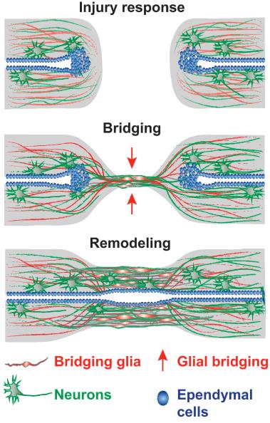 zebafish-spinal-cord-repair-process