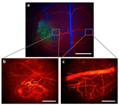 GlowingNanoparticlesOpenNewWindowForLiveOpticalBiologicalImaging