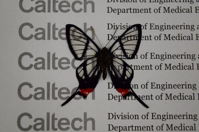 ButterflyWingsInspireNanostructuredMedicalImplants