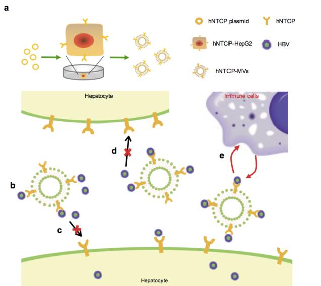 NanovesiclesBlockHepatitisB