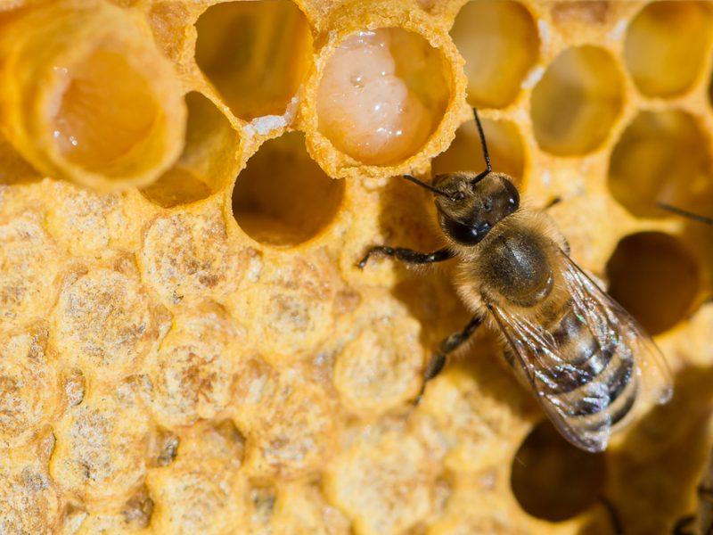 HoneybeeProteinKeepsStemCellsYouthful