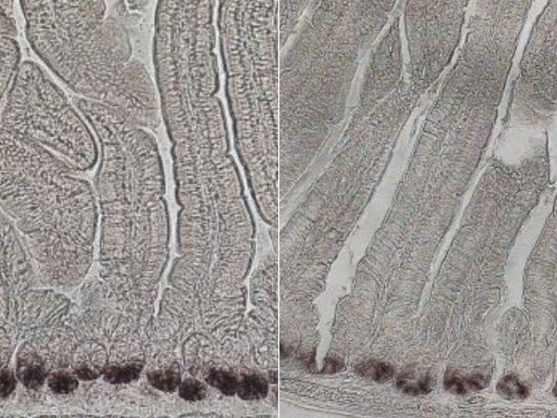 BiologistsFindWayToBoostIntestinalStemCellPopulations