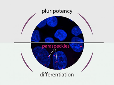 PluripotencyOrDifferentiationThatIsTheQuestion