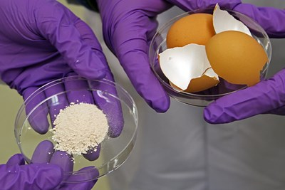 EggshellParticlesUsedToGrowBoneTissueInTheLabNew