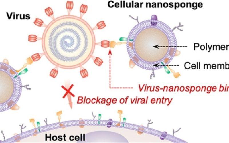 CellularNanospongesCouldNeutralizeSARS-CoV-2NewNew