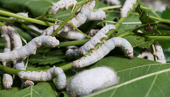 Close up Silkworm eating mulberry green leaf